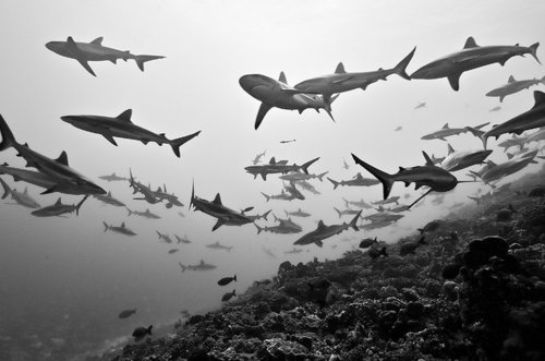 b&w, fish, ocean, sharks