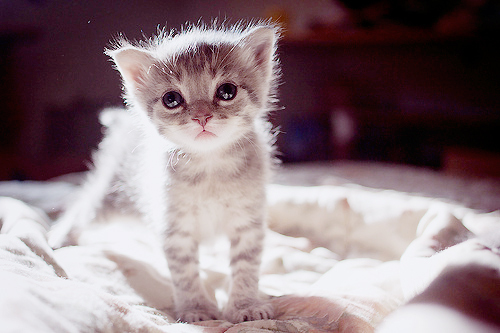 cat, cute, eyes, fluffy, kitten