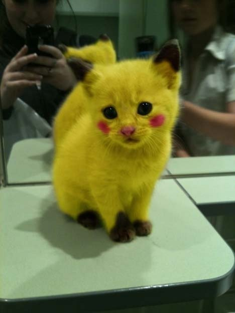 cat, cute, funny, haha, kitty, lovely, omg, pikachu, pokemon, yellow