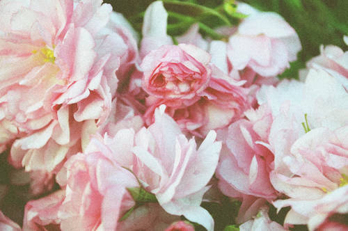 elegant, faded, feminine, flowers, nature, pink, roses, vintage