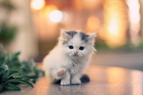 adorable, cat, cute, darling, kitteh