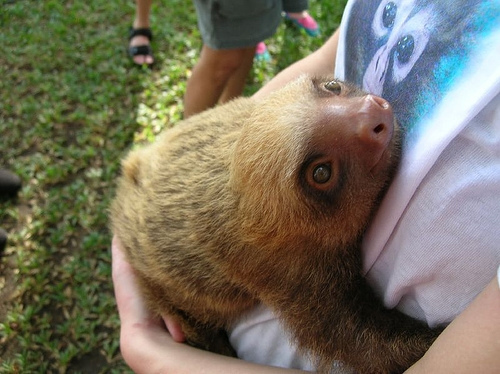 animal, baby sloth, cute, cute animal, cute sloth