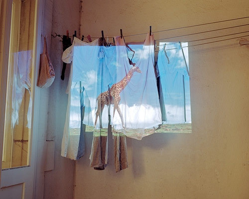 blue, clothesline, clouds, giraffe, giraffes