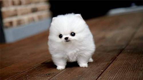 cute, dog, fluffy, mini, puppy