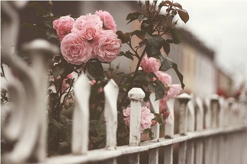 fence, flowers, garden, pink, roses