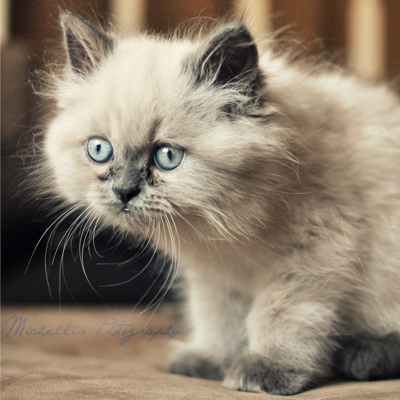 adorable, cat, cute, deviantart, fluffy