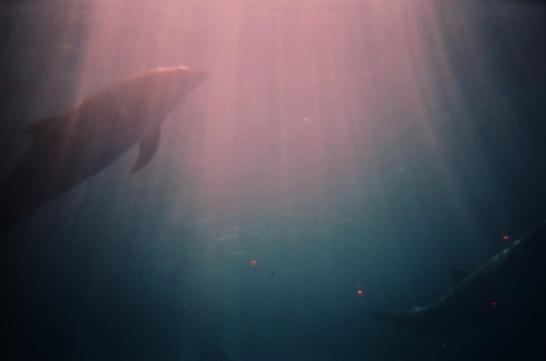 animal, blue, dolphin, light, nature
