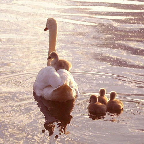 baby, baby swans, beautiful, cute, late, mama, mom, swan, swans, sweet, water