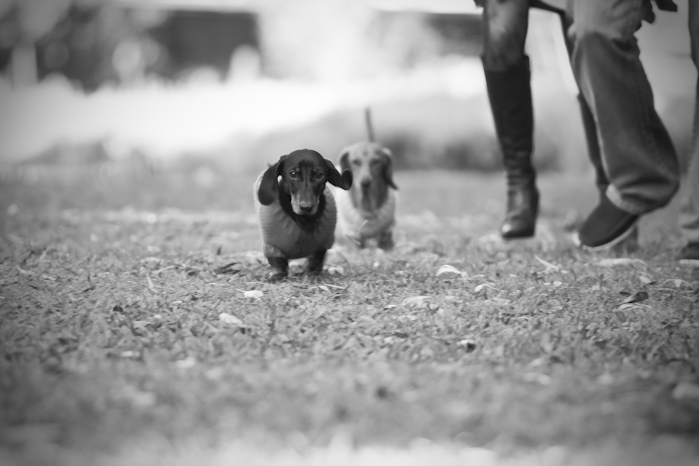 black & white, black and white, cute, dachshund, dachshunds