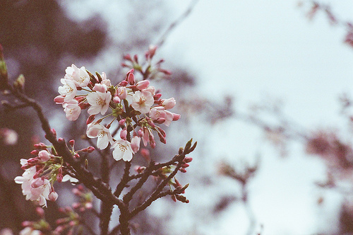 blossom, blossoms, flower, flowers, spring