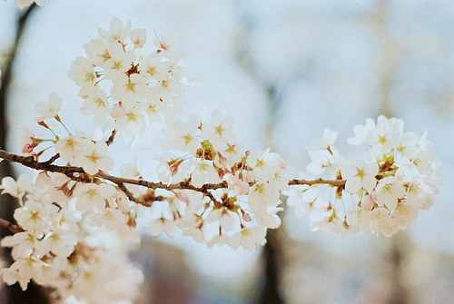 cherry blossom, cherry blossoms, flower, spring, tree