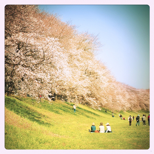 cherry blossoms, iphone photography, iphoneography, japan, park