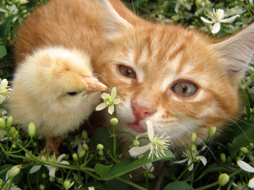 adorable, animal, animal love, animals, cat, chick, cute, easter, love