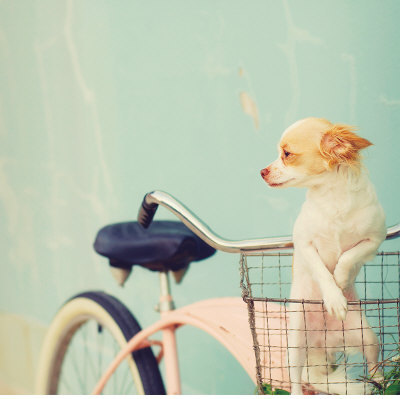 adorable, bicycle, blue, chihuahua, cute, pink, puppy, sky blue, sweet