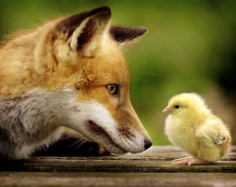 animal, animals, chick, cute, easter, fox, little chicken, love adorable, red fox