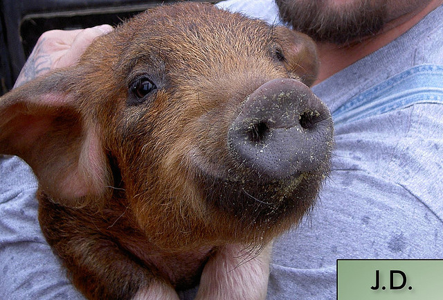 animal, compassion, farm sanctuary, love, pig