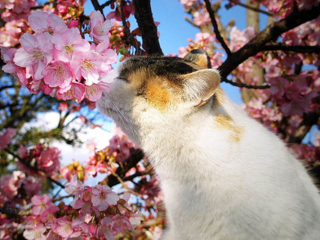 animals, beautiful, cat, cat in tree, cherry blossom