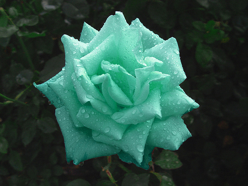 Awesome green rose image 224261 on for Green colour rose images