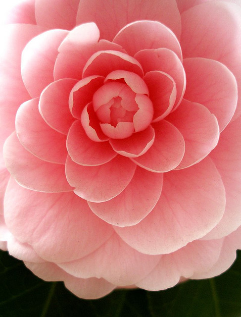 beautiful, big flower, blossom, flower, pink, pink camellia, pretty, spring