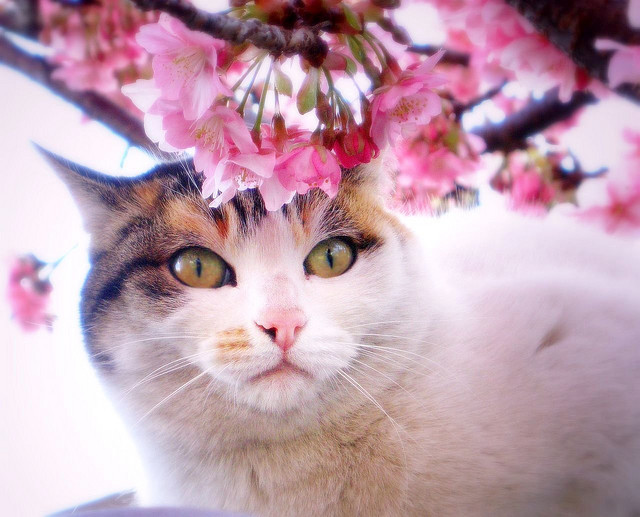 beautiful, blossom, cat, cat eyes, cat in tree