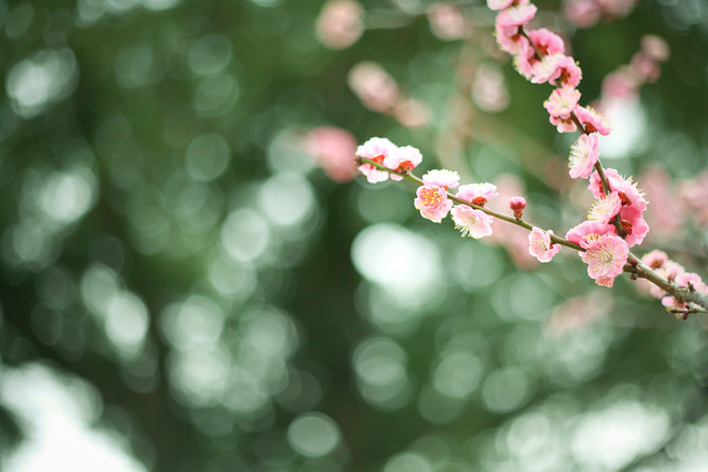 blossoms, bokeh, branch, flowers, nature
