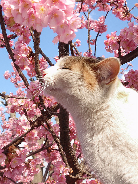 blossoms, cat, cherry blossoms, flowers, kawaii