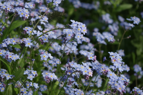 blue, cute, england, flowers, forget me not, grass, nature, photography, pretty, purple, spring, summer
