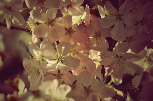 cherry blossom, flower, separate with comma, vintage