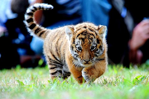 comoassim lindo, cute, fotografia, photography, tiger
