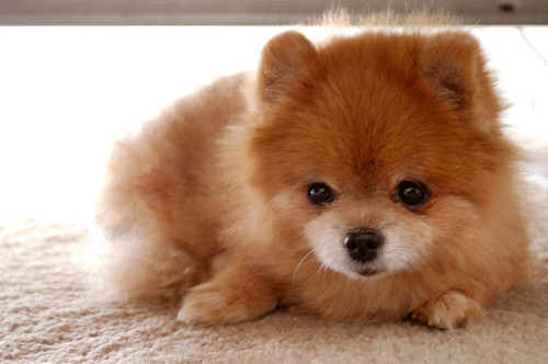 cute, dog, fluffy, furry, pomeranian