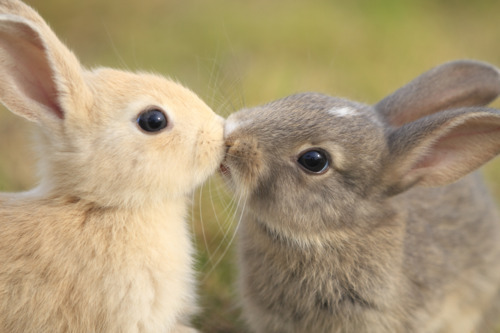 animals, bunnies, cute, funny, kissing
