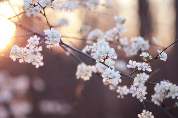 beautiful, blossom, cherry blossom, dawn, faded