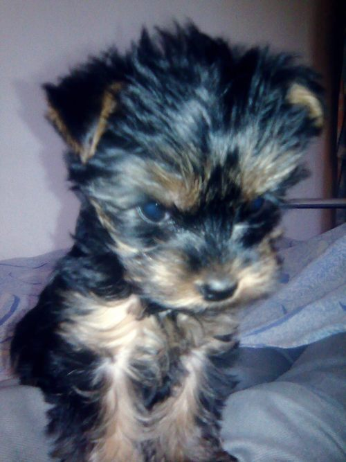 cute, lovely, puppy, yorkie, yorkshire terrier
