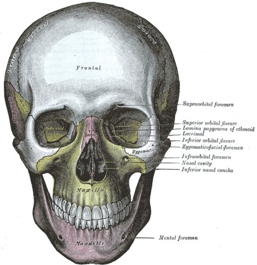 anatomy, illustration, skull, vintage