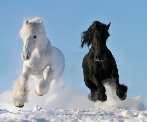 contrast, fly, horse, horses, snow, winter