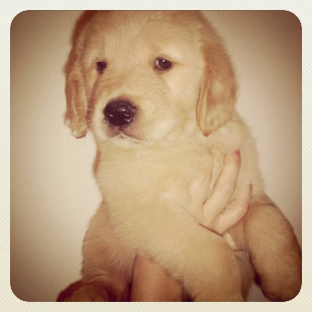 dog, golden, puppy, retriever