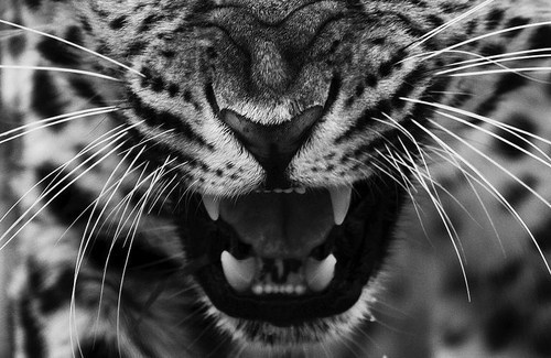 animal, black&white, lips, teeth, tiger, whisker