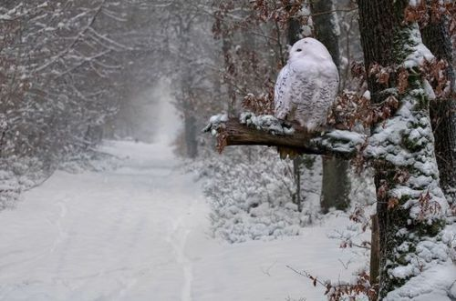 owl, path, snow, white, winter