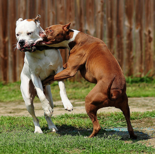 dog, fight, pitbull