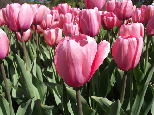 flowers, pink, tulips
