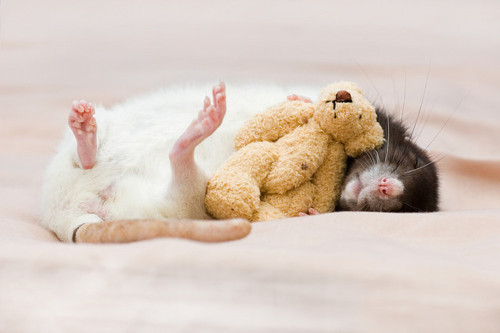 adorable, bed, cute, rat, teddy bear