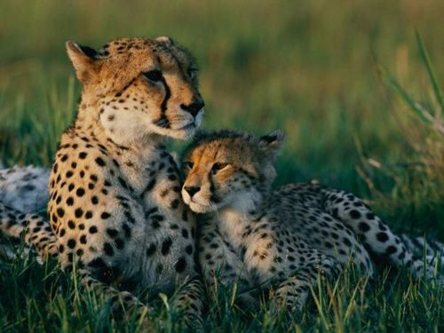 animal, animals, babies, cheetah, cute