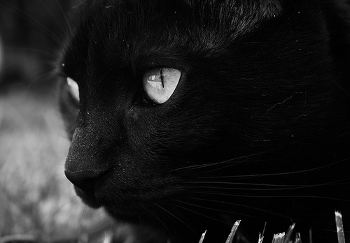 animal, black cat, cat, eyes, gsayour