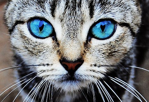 awesome, blue, cat, cute, eduarda m, eye, eyes