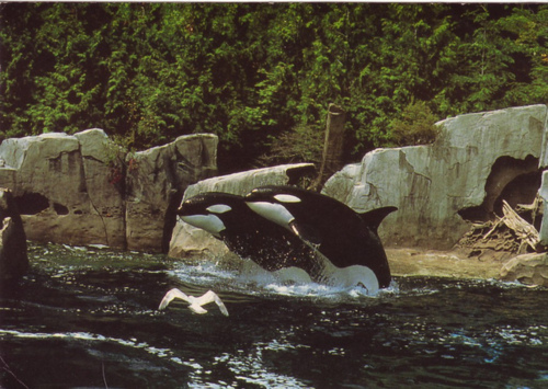animal, killer whales, photography, whales