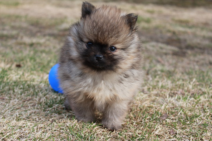 ball, cute, dog, love, pomeranian