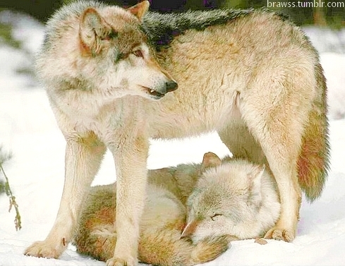 angry, animal, animals, cute, girls, mother, pup, puppy, puppys, sleep, son, sweet, wolf, wolfs