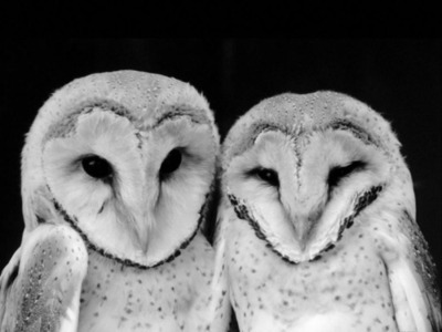 animals, black and white, owls