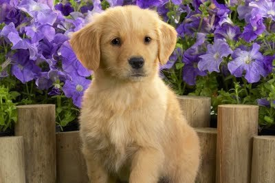 beautiful, cute, dog, natural, puppy
