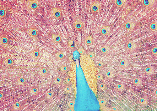 blue, colors, draw, peacock, yellow